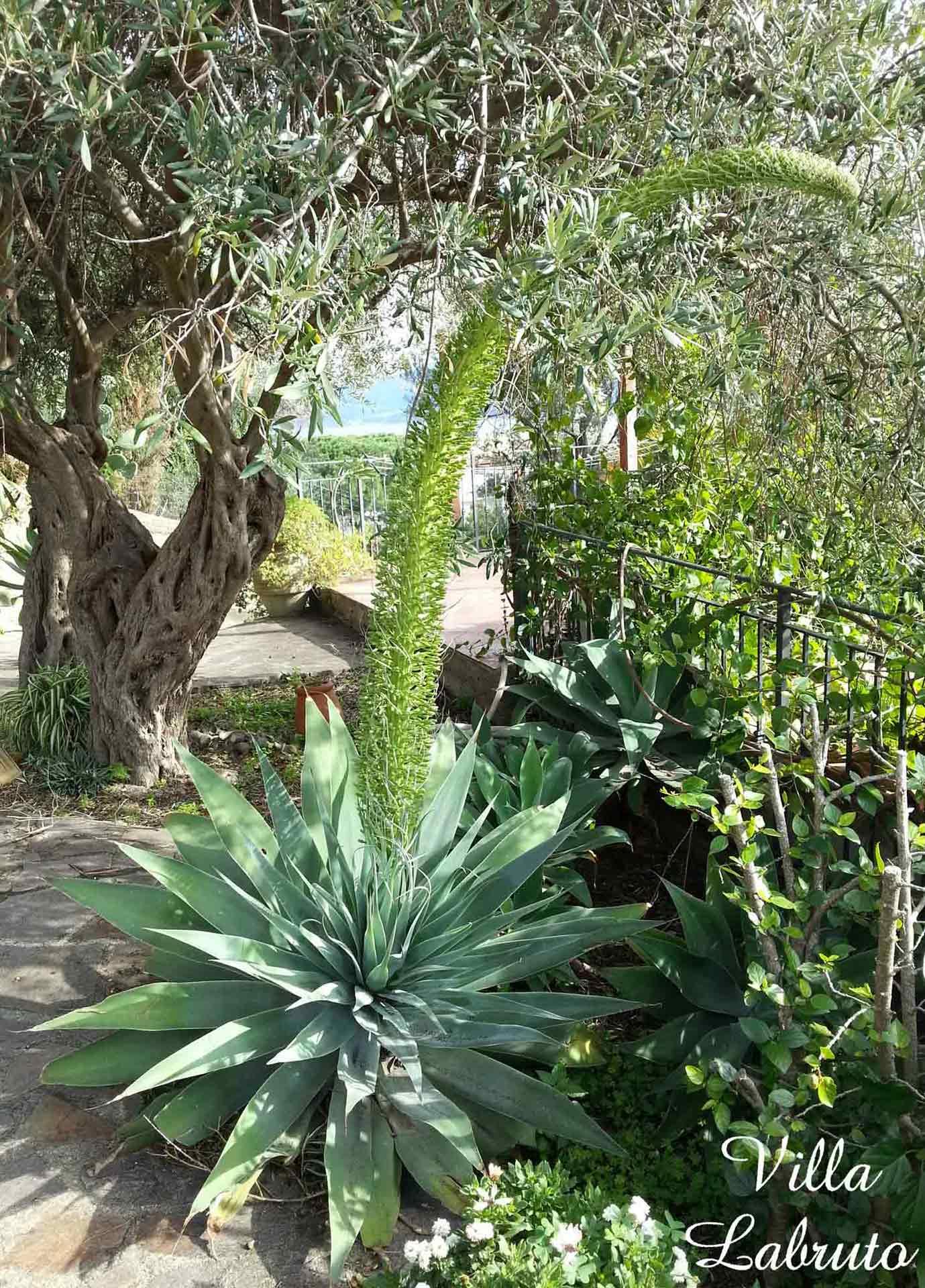 pianta-agave-attenuata