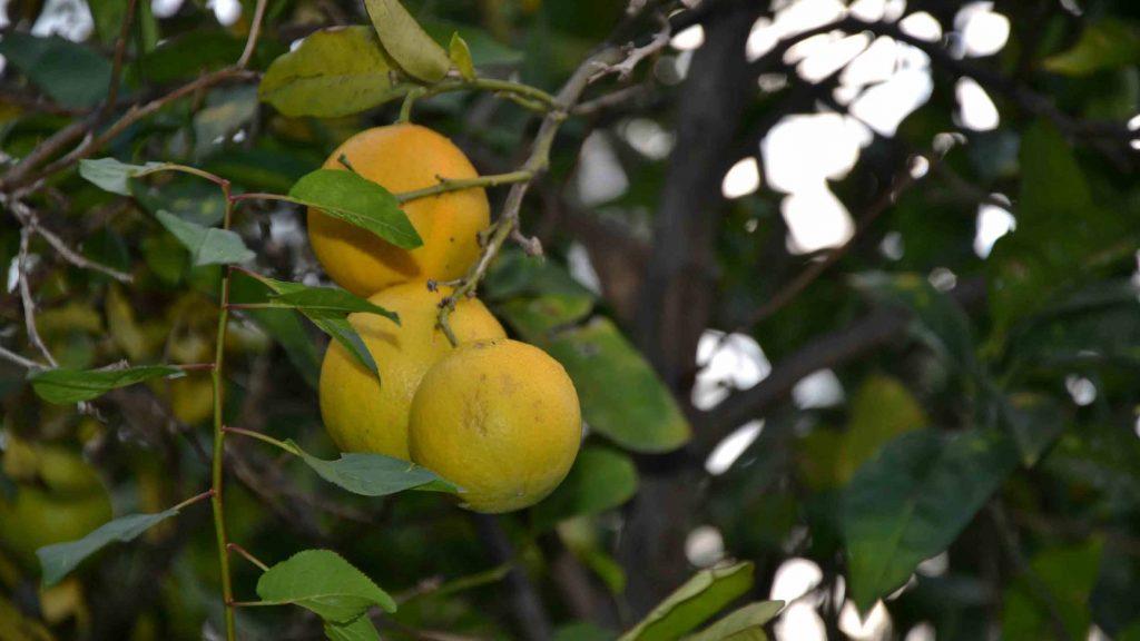 arance-giardino-villa-sicilia-messina