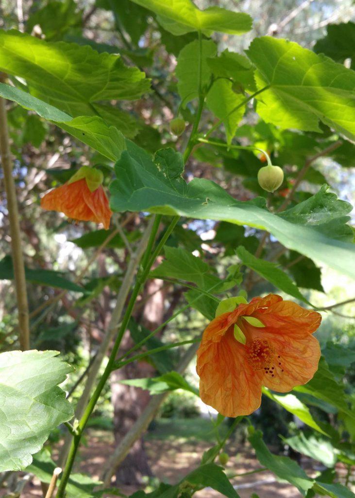 fiore-abutilon-hybridum