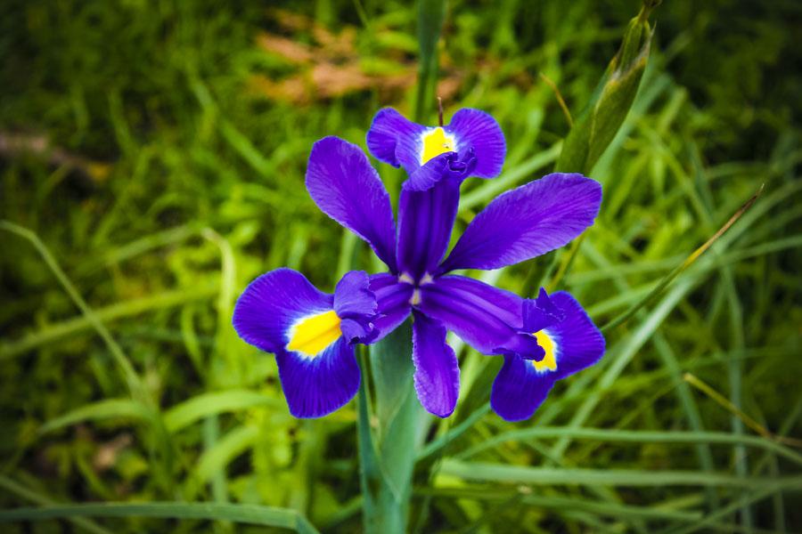 fiore-iris-giardino.jpg