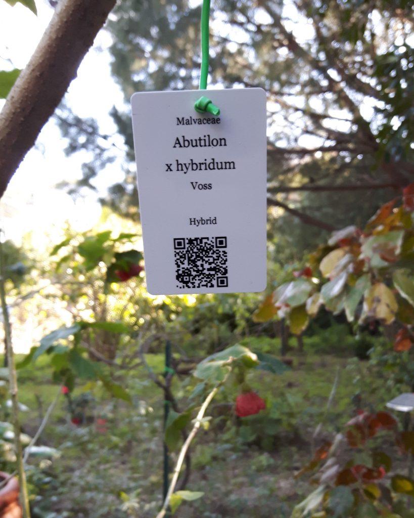 abutilon-hybridum
