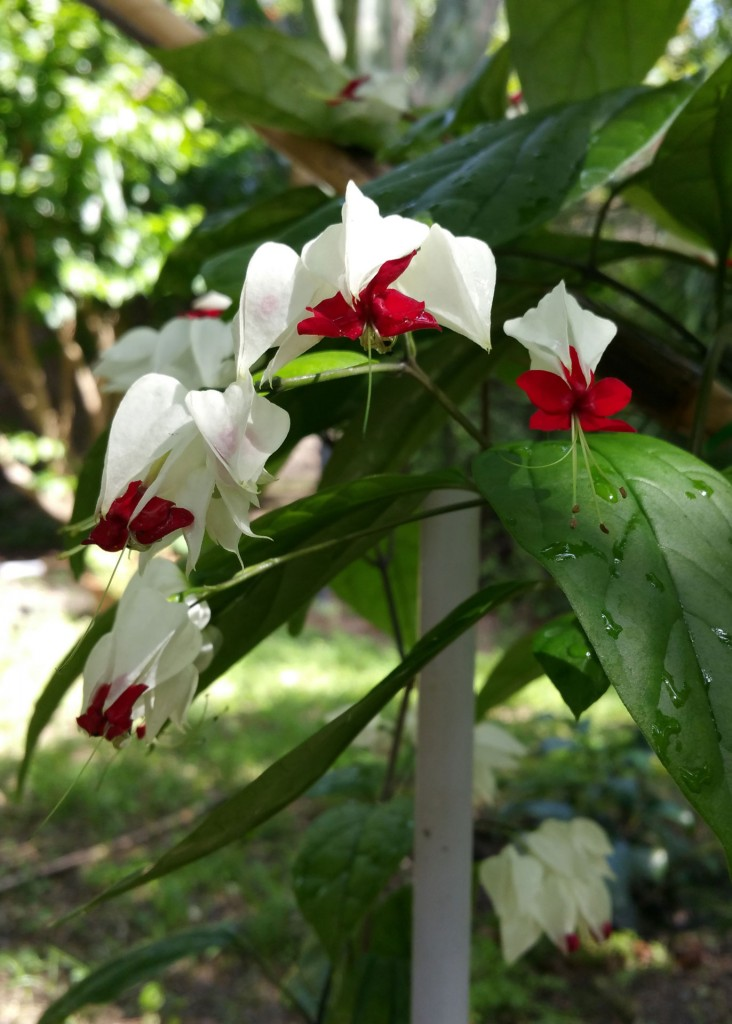 fiore-Clerodendron-thomsonii.jpg