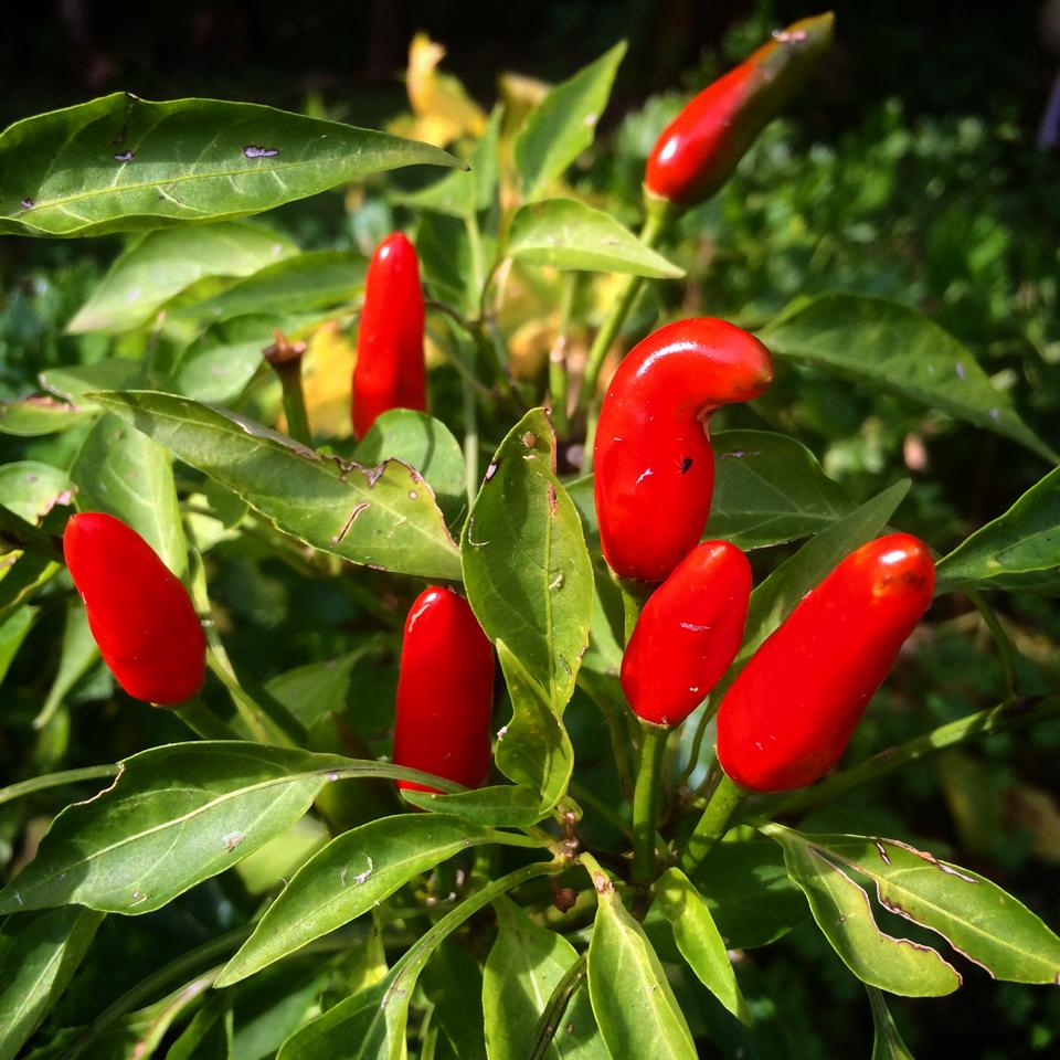 peperoncino-rosso-giardino-andrea-labruto.jpg