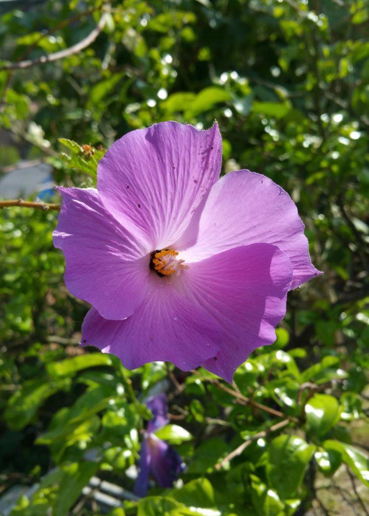 Alyogyne-huegeli-fiore