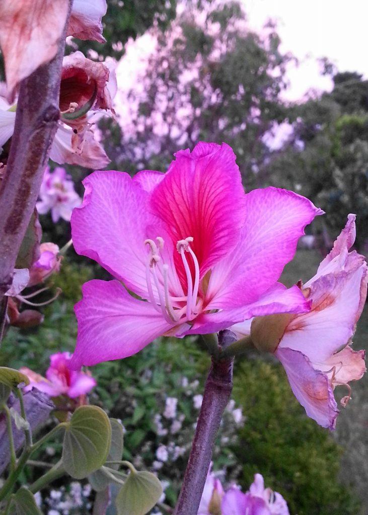 fiore-Bauhinia-purpurea