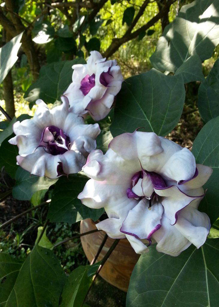 fiore-datura-metel