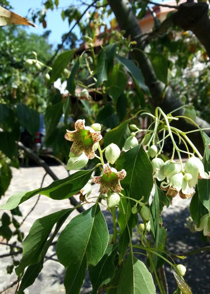 flor-Brachychiton-diversifolium.jpg