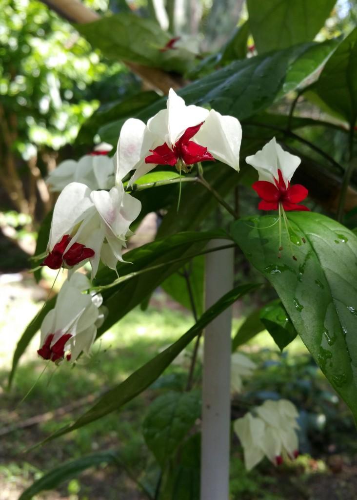 flor-Clerodendron-thomsonii.jpg