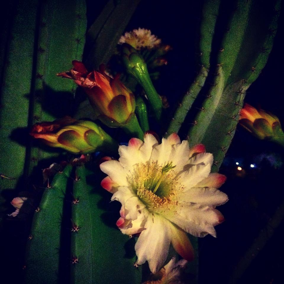 cereus-peruvianus-andrea-labruto.jpg