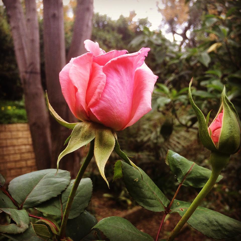 flor-rosa-andrea-labruto.jpg