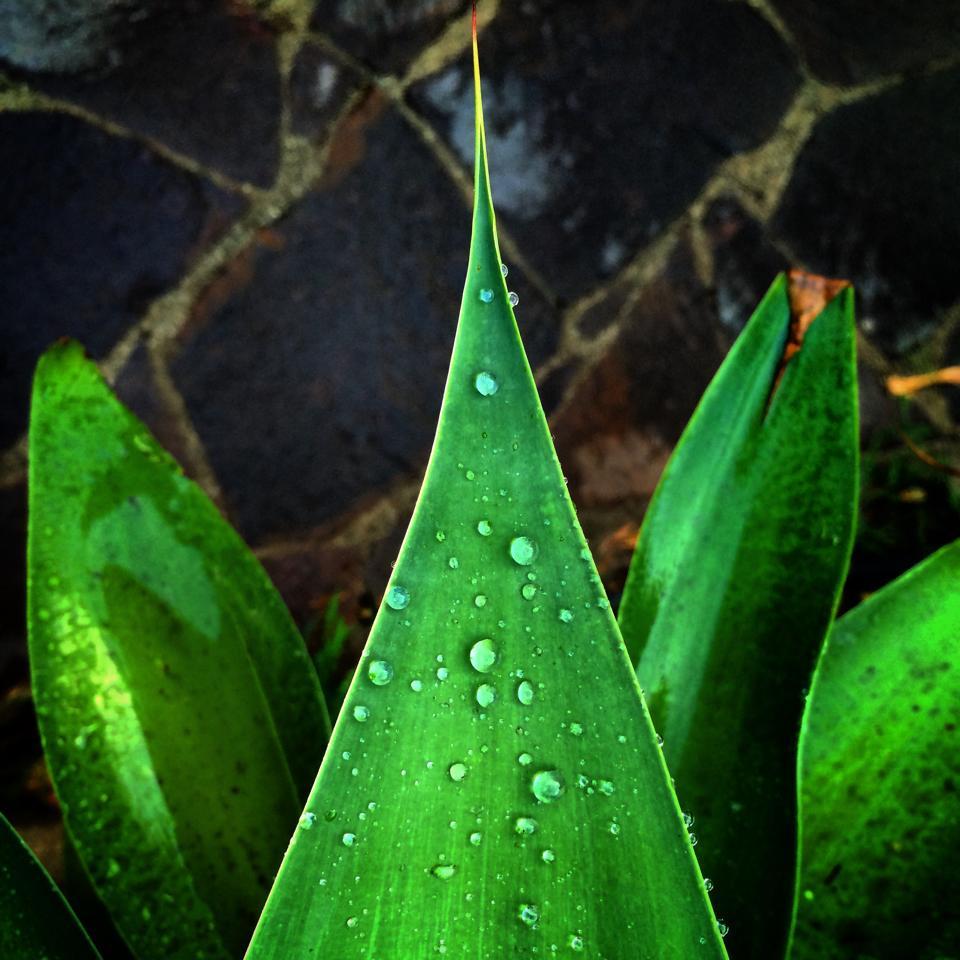 hoja-agave-attenuata-andrea-labruto.jpg