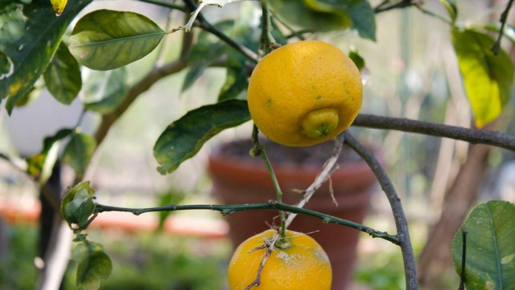 limoncella-romana-giallo-limone.jpg