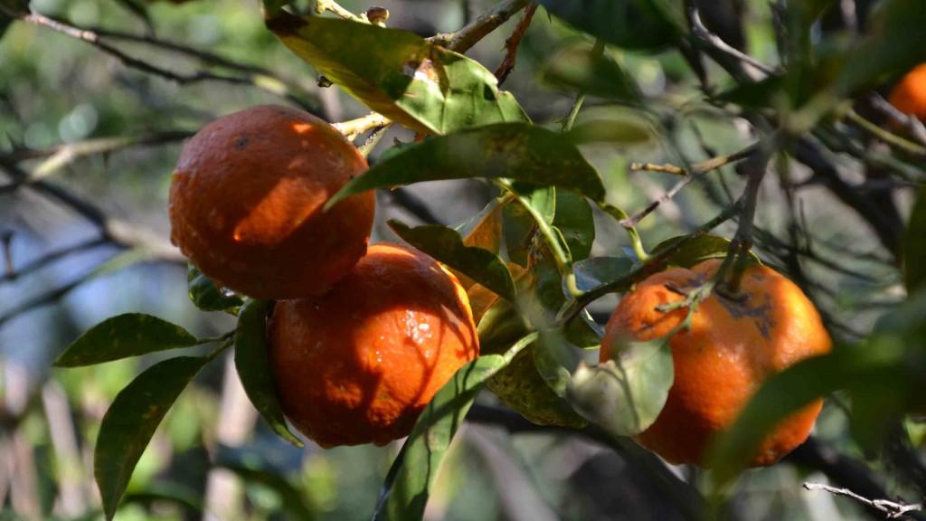 mandaranci-giardino-villa-sicilia-messina