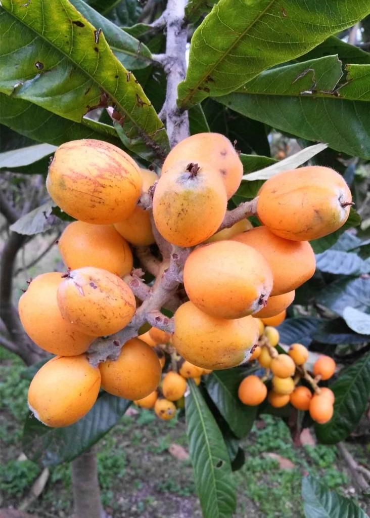 nespole-frutta-giappone