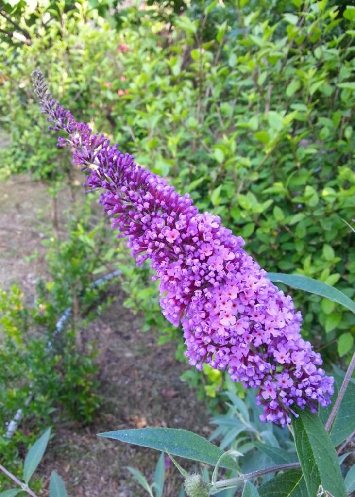 Buddleia-davidii-fiore