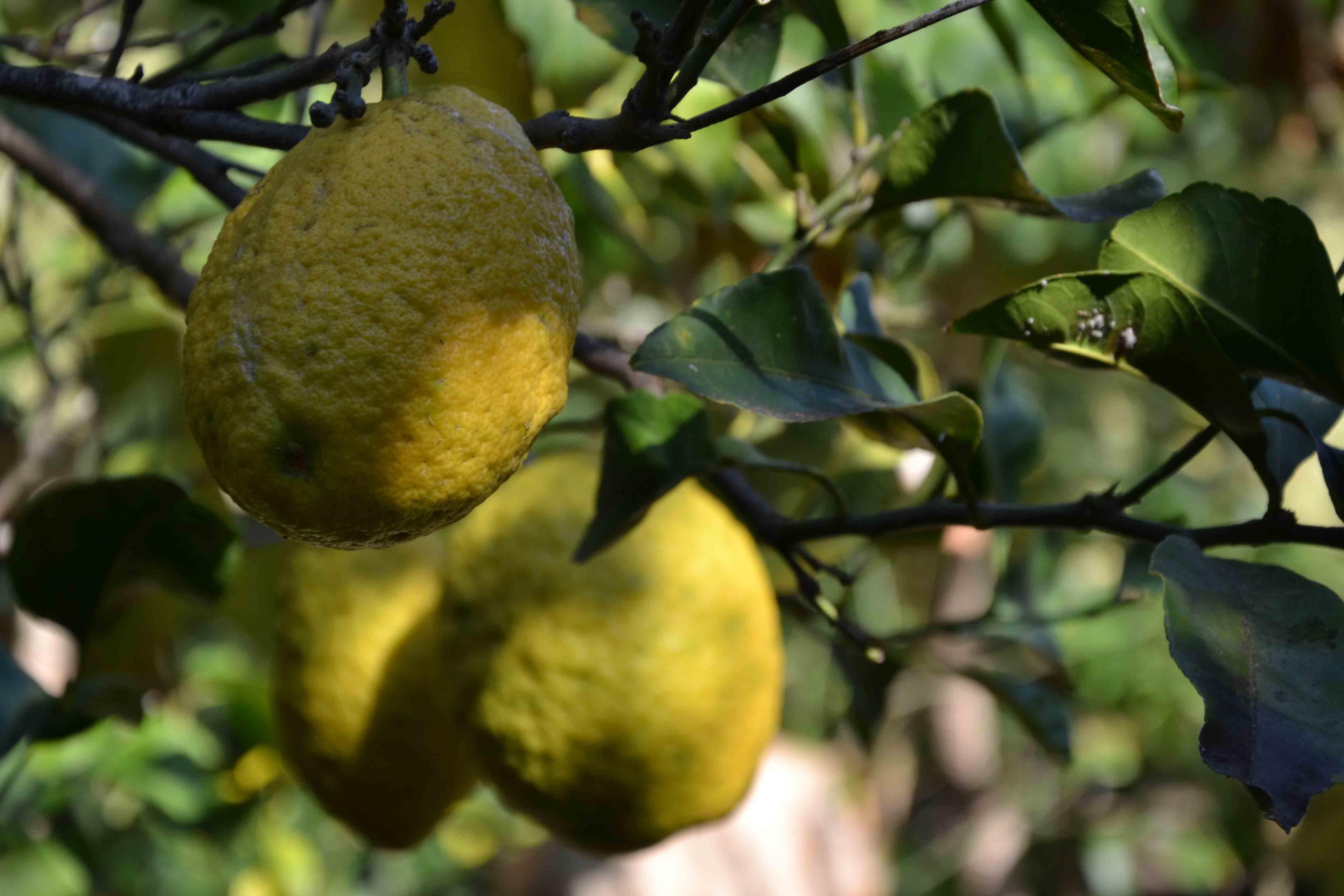 limoni-giardino-villa-sicilia-messina