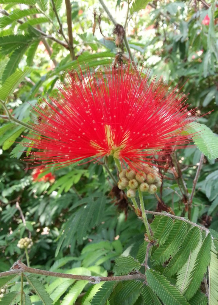fiore-Calliandra-haematocephala.jpg