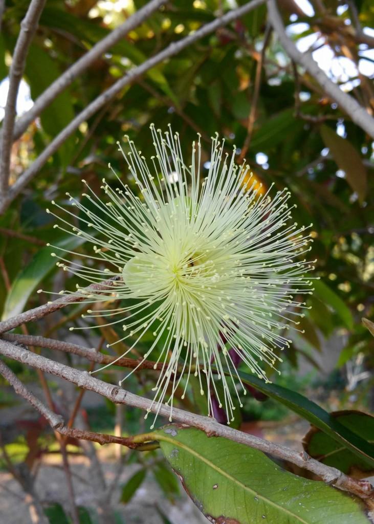 fiore-Eugenia-jambosa.jpg