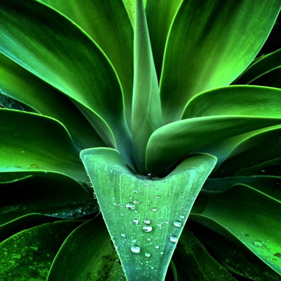 agave-attenuata-pioggia.jpg
