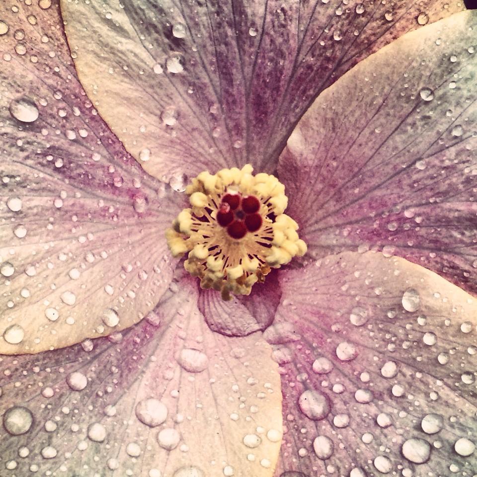 fiore-hibiscus-rosa-pioggia-andrea-labruto.jpg